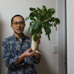 家庭菜園で初大根収穫!紅菜苔もおひたしに