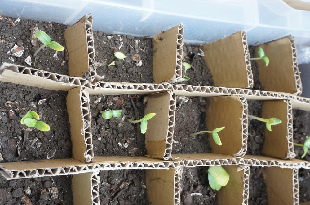 発芽率のよいキュウリの芽