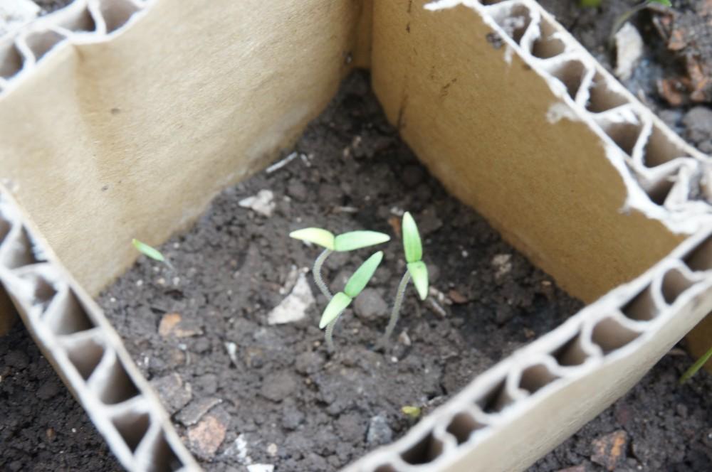 双葉が開いたトマトの芽