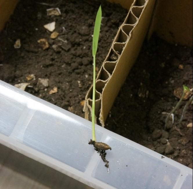 玄米が発芽していた