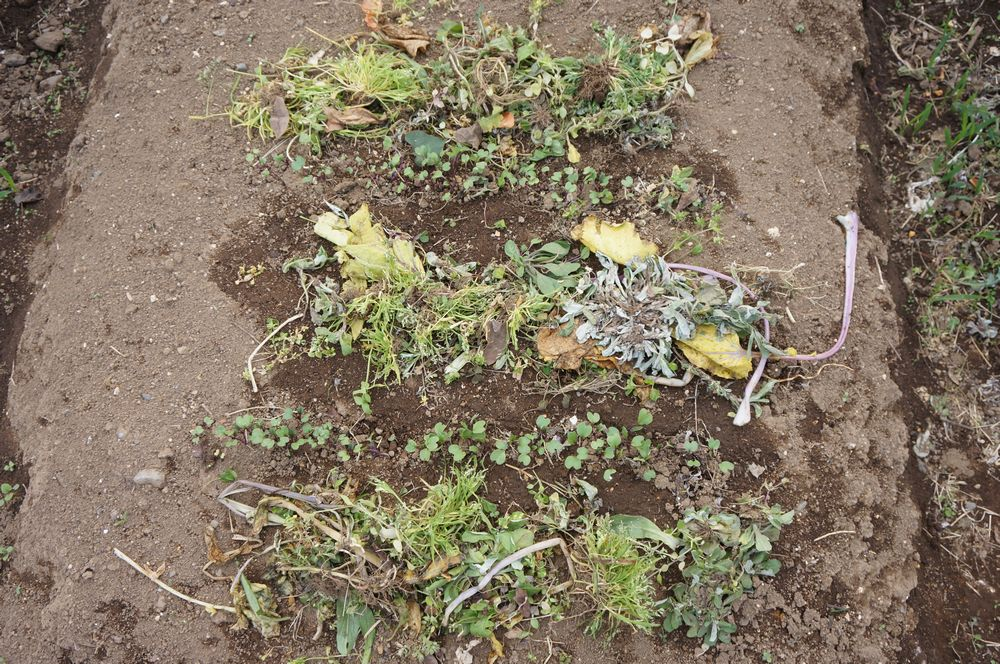 草マルチ下紅菜苔