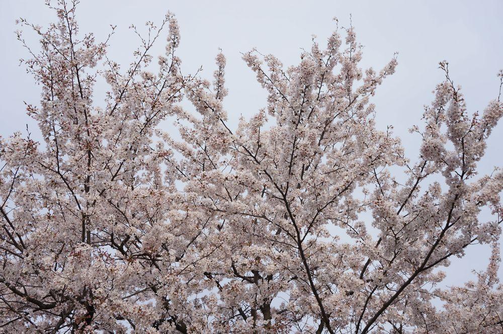 畑に向かう間の桜