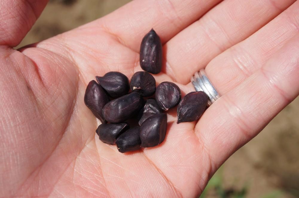 黒落花生の種