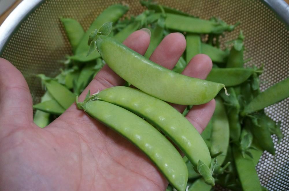 庭の絹さや過去最高の収穫量!畑ではバジルの芽が出て!鉢に植えた葉ネギも発芽なり!