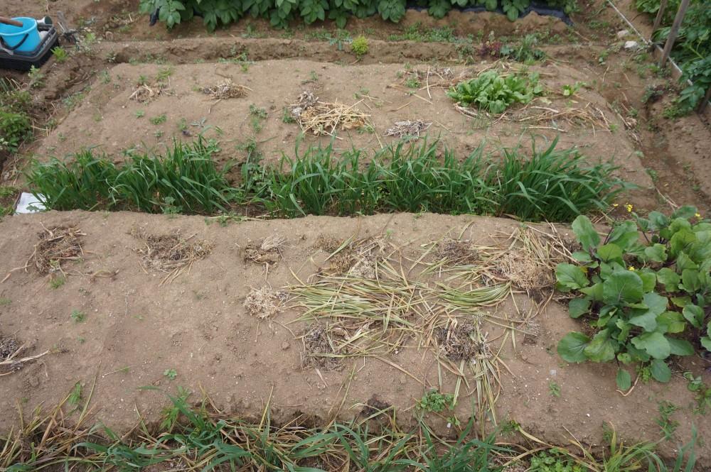 5月3日作業前の畑