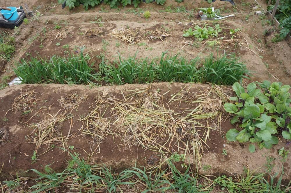 5月5日作業前の畑