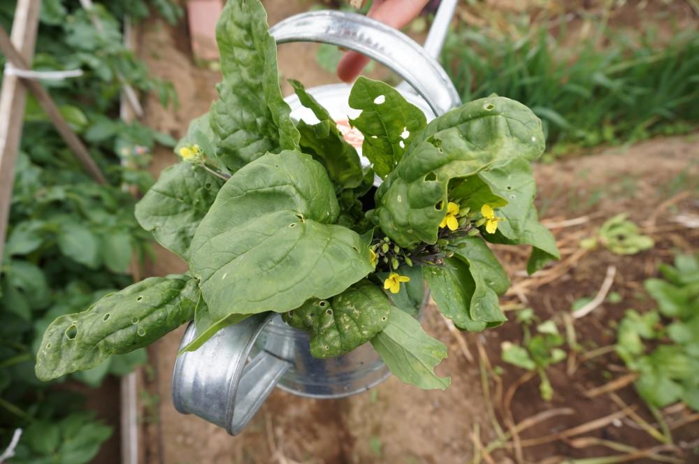 紅菜苔とほうれん草収穫