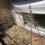 キュウリがうどんこ病と褐斑病?庭の畑に支柱立ててキュウリ定植の準備!ストチュウ水を浴びせてみた♪
