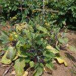 市民農園でトウが伸び放題の紅菜苔は根から収穫・・・ポットのスイートバジルは枯れたようなので蒔きなおし
