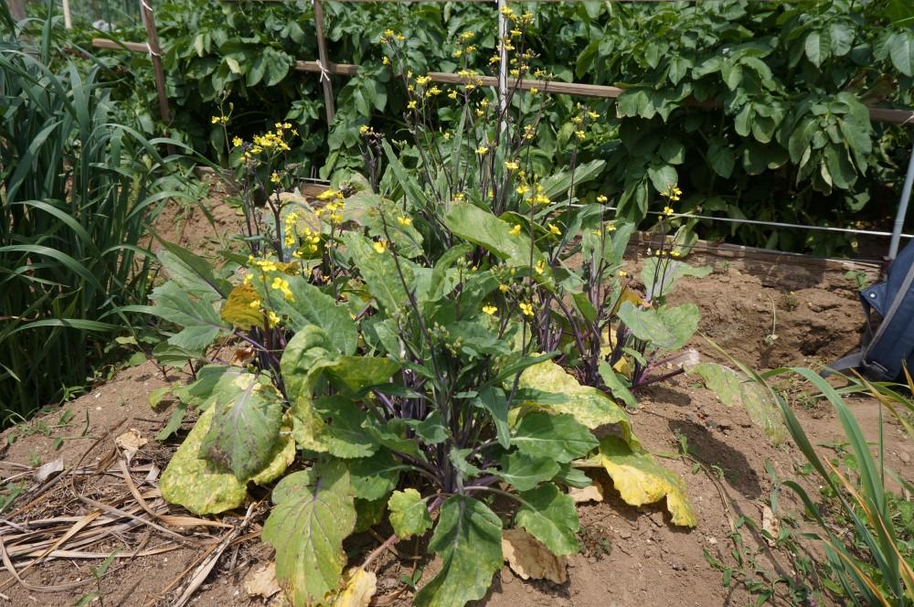 収集付かない紅菜苔