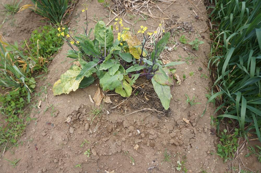 一列収穫した紅菜苔