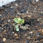 つるありインゲンとスイカの発芽!育苗キットはポットに移植!そして噂の銀の土到着!