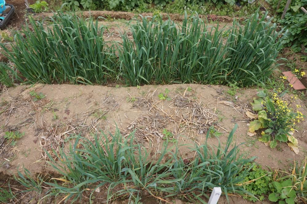 5月20日作業前の畑