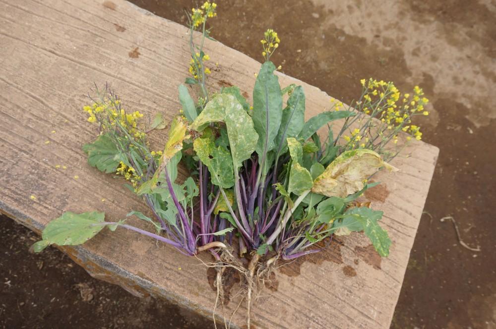 収穫した紅菜苔