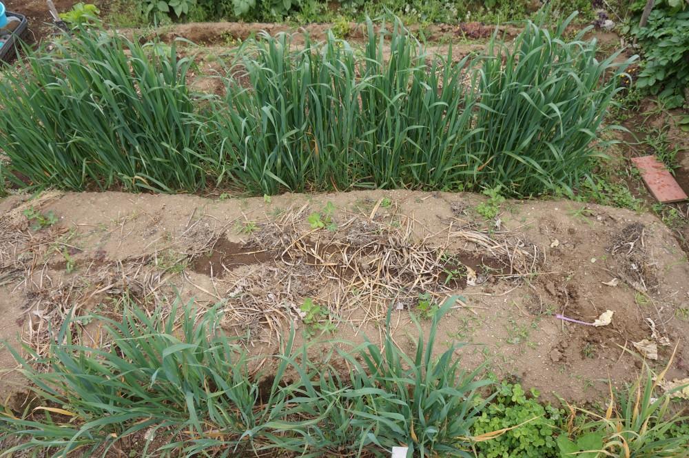 5月20日作業後の畑