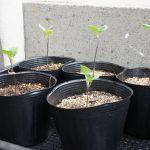 定植待ちのナス,トマト,ホオズキと定植したキュウリたち~スイートバジル,マリーゴールド,カボチャも頑張っとるよ♪