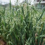 貸農園で緑肥として蒔いたエンバク(オーツ麦)に実が付いた!トウ立ちしたほうれん草収穫とトマトの支柱準備開始♪