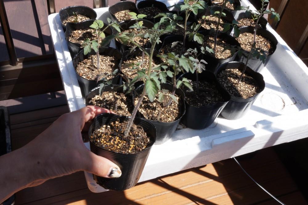 一番成長しているトマトの苗を選んだ