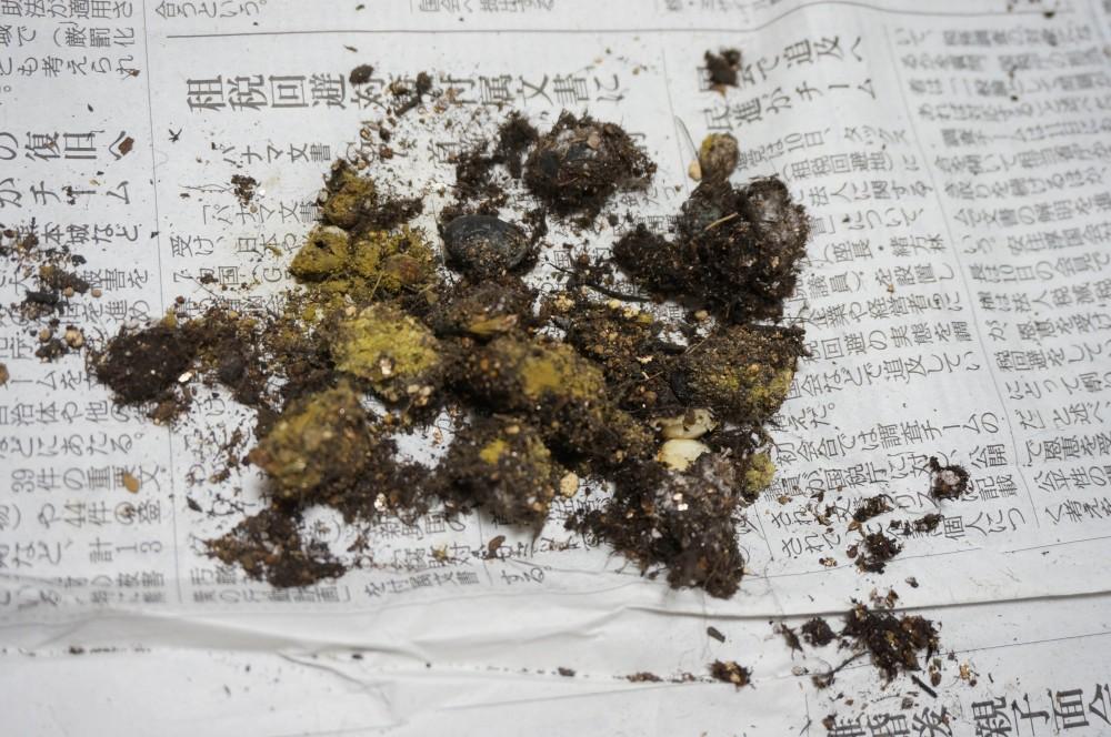 腐ったエダマメの種