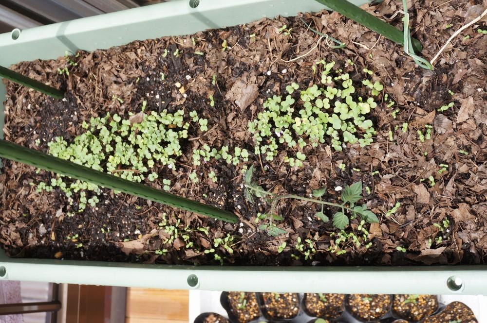 6月8日の無肥料栽培プランター
