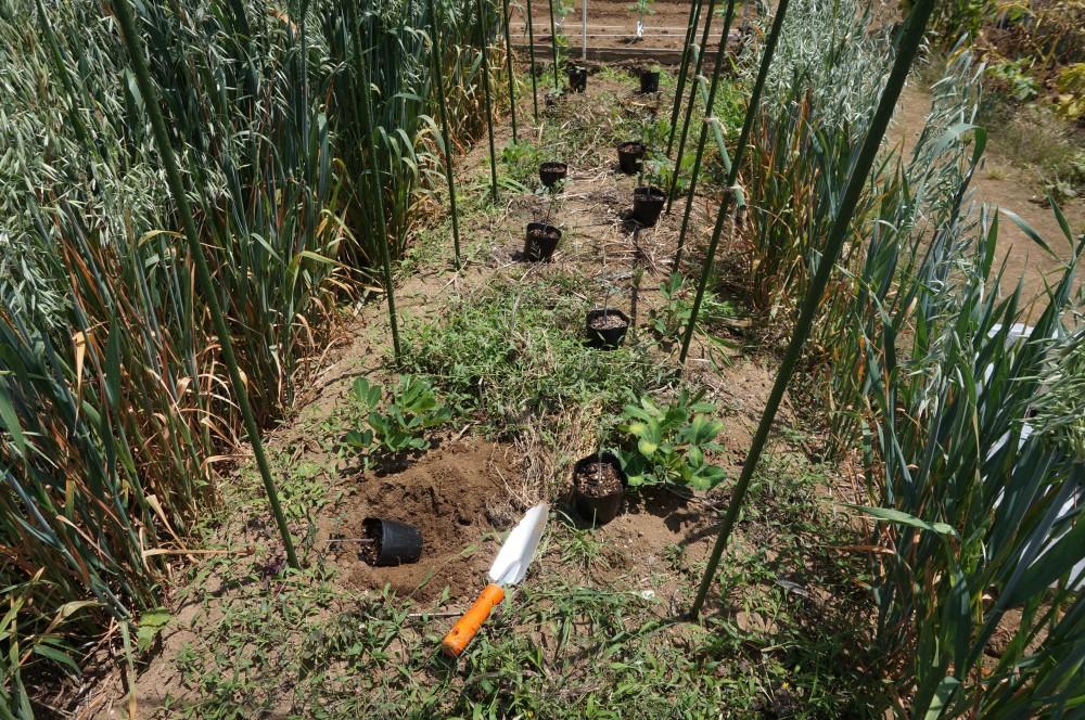 トマトと食用ホオズキの定植