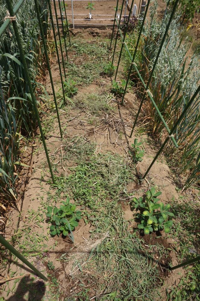 定植したトマトと食用ホオズキ
