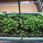 無肥料栽培プランター仕込んでから二週間、紅菜苔,中葉春菊,つるなしインゲン(金時菜豆)で緑に覆われました♪
