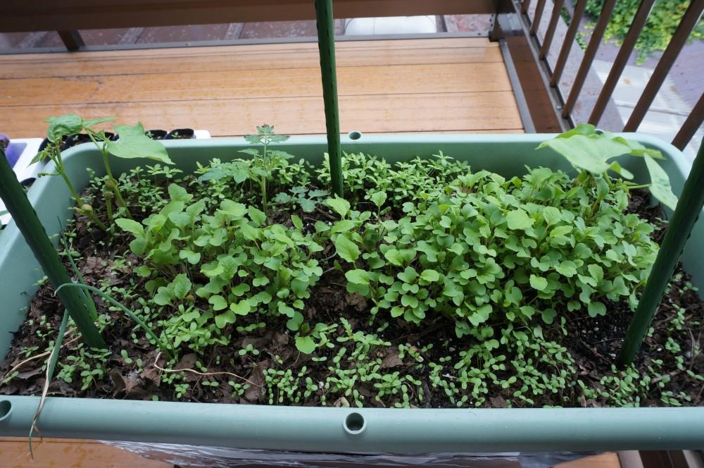 6月16日の無肥料栽培プランター
