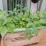 無肥料栽培プランターが紅菜苔,中葉春菊が取り放題(間引き)!メインのミニトマトもグッっと伸び始めたので斜めに誘引中♪さぁ、種をまこう!!