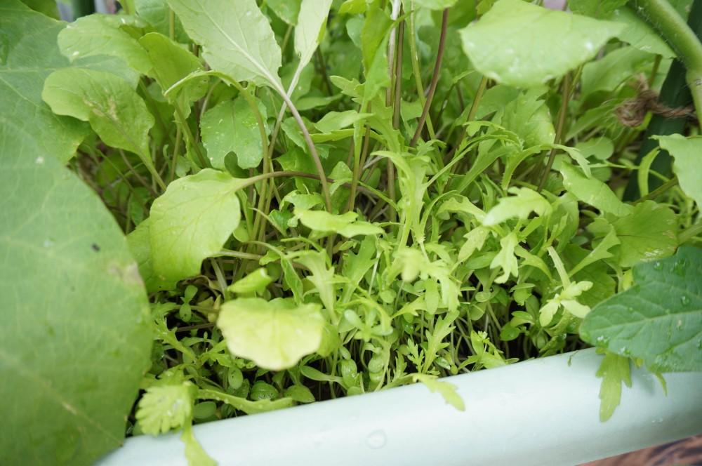 間引いても減らない紅菜苔と春菊