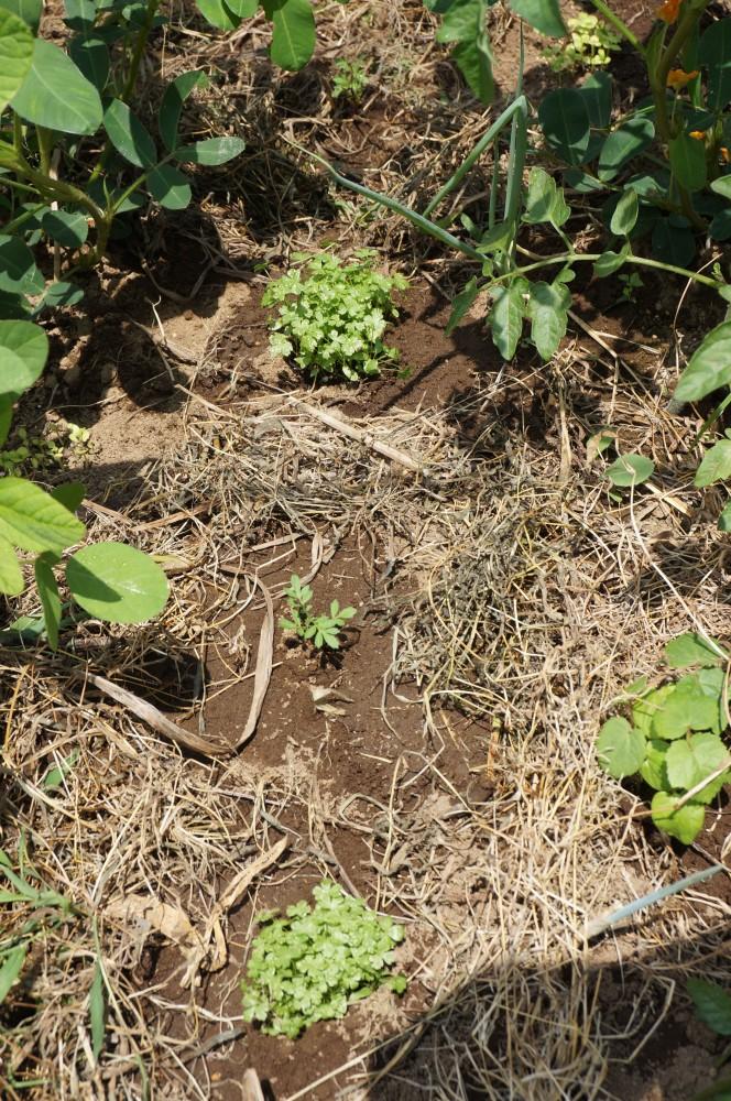 定植したイタリアンパセリとマリーゴールド