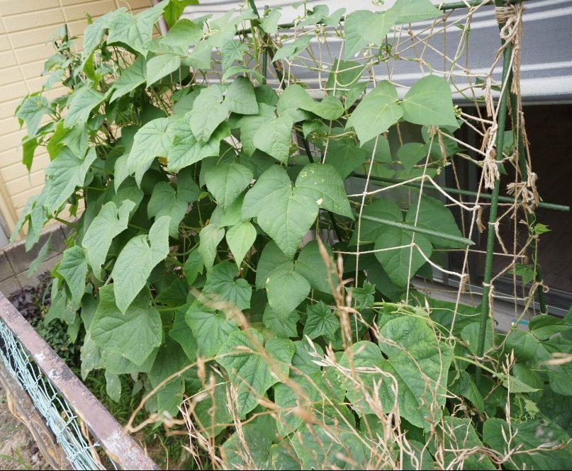 キュウリとインゲンの葉っぱで覆われた庭の畑