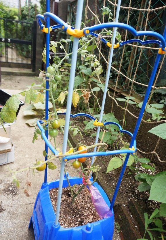 学校で育ててたミニトマト