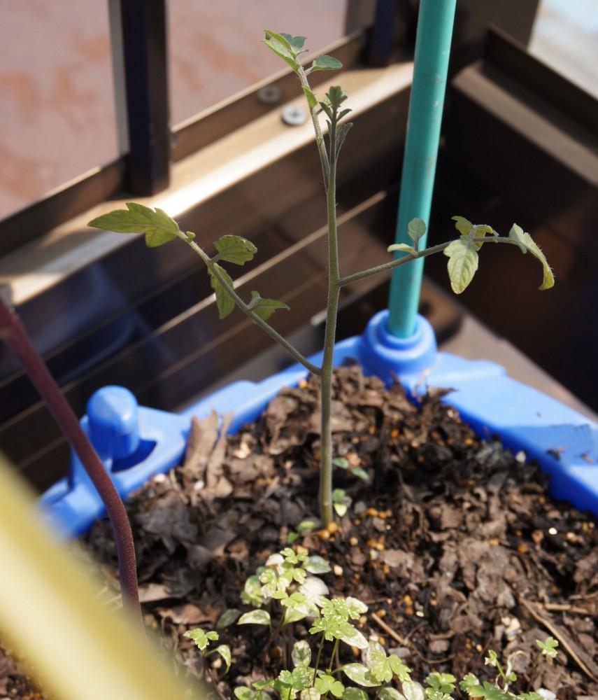 成長が止まったミニトマトとイマイチ元気のないイタリアンパセリ