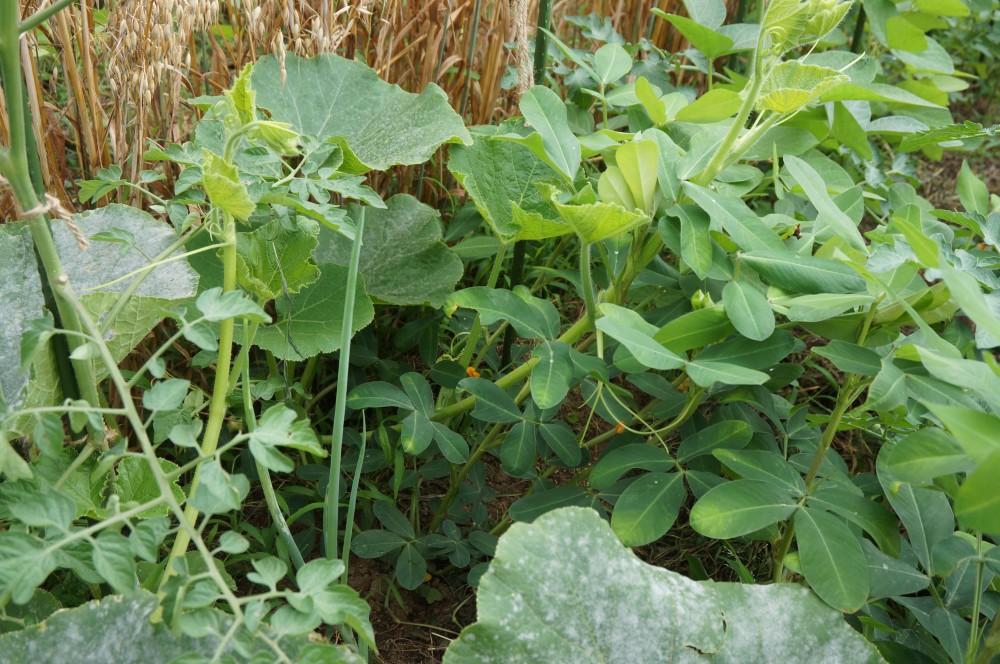 トマトと落花生を襲うカボチャの脇芽