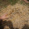 市民農園で育ててたエンバクをついに収穫!ミニトマトとエダマメに実が付き始めマリーゴールドの花が咲く♪