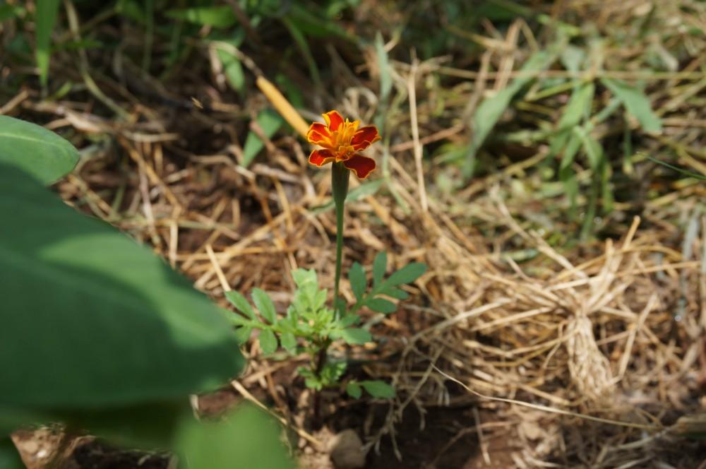 小さく咲いたマリーゴールド