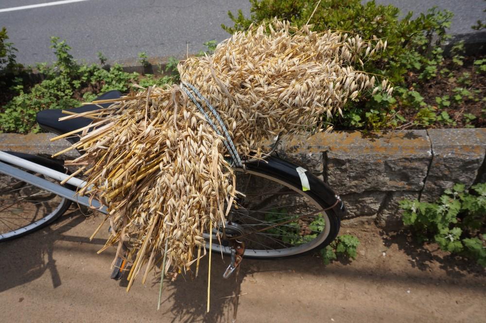 収穫した麦を自転車の荷台に固定