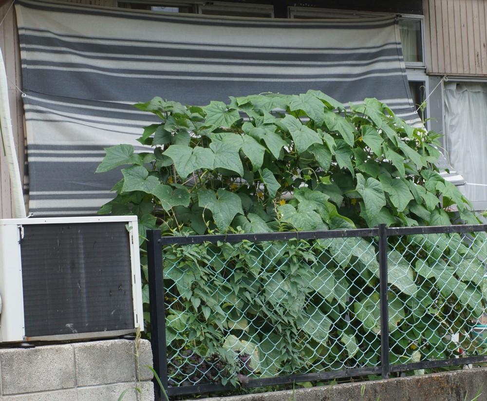 キュウリとインゲンで緑のカーテン