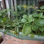 仕込んでから2か月半ほど経過した無肥料栽培プランターはメインのミニトマトを時計回りに誘引中