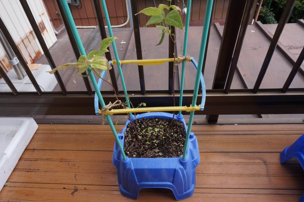 トマトとインゲンの植木鉢