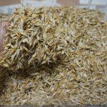 畑(市民農園)の様子(エダマメにマルカメムシが、、、おもわず半分収穫)とエンバクの脱穀