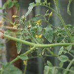 【ベランダ無肥料栽培プランター】ミニトマトに沢山花が咲いてきたけど成長は足踏み状態でコンパニオンプランツは枯れてきた