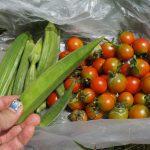 市民農園ではオクラとトマトを収穫中~かぼちゃはもう少し~ハダニ被害のナスにサラダ油&重曹スプレー