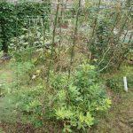 畑のトマト撤収と庭の支柱立て直し